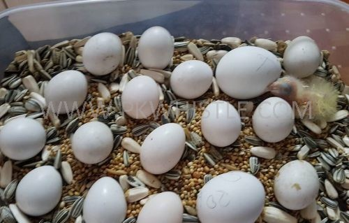 Fresh Fertile parrot Eggs for sale in Ahmedpur East