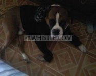 For Adoption Lucky  Adult Boxer