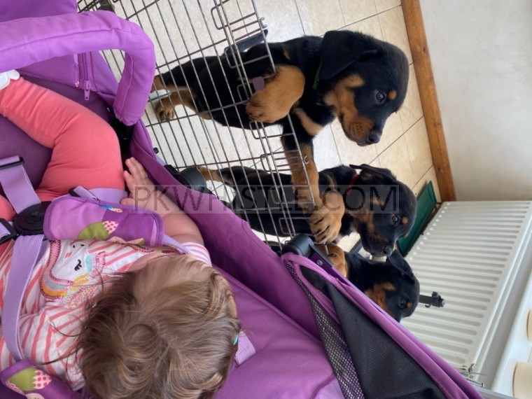 ROTTWEILERS FOR SALE NOW